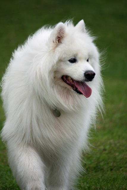 Dog, Samoyed, Canine, Pet, Breed, Animal, Furry, Fur