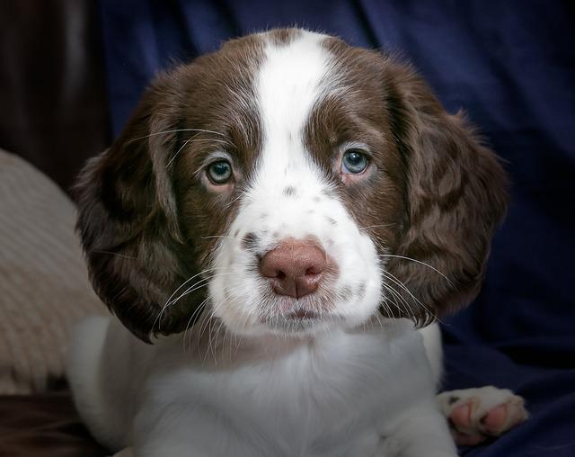 Puppy, Spaniel, Dog, Animal, Young, Pet, Canine