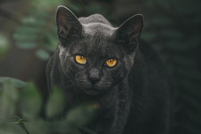 Cat, Eyes, Animal, Pet, Portrait, Eye, Face, Black
