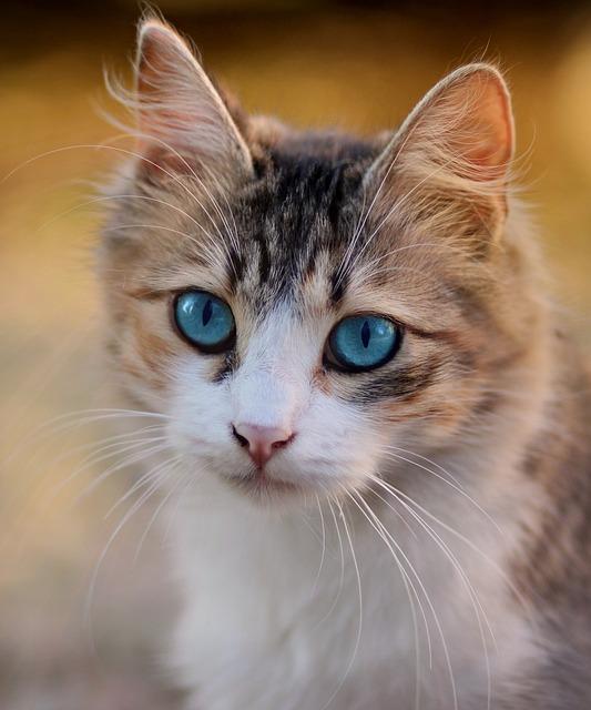 Cat, Blue Eyes, Pet, Feline, Cat's Eyes