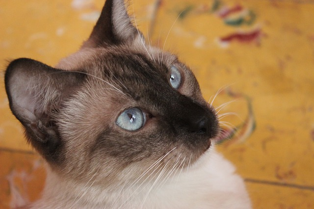 Cat, Blue, Beauty, Feline, Pet, Look, Gata, Eyes