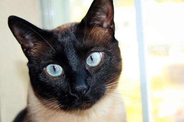 Cat, Siamese, Black Face, Blue Eyes, Pet
