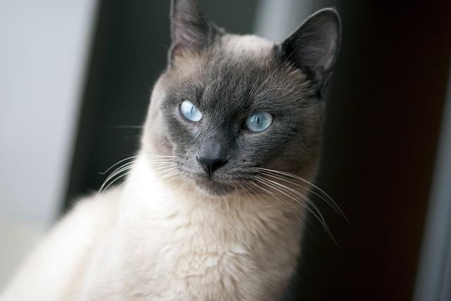 Thai Cat, Cat, Blue Eyes, Pet