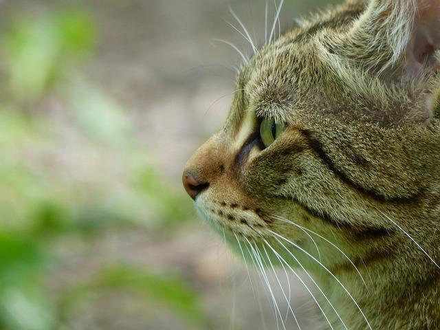 Cat, Animal, Tiger Cat, Pet