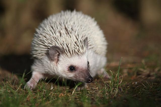 African, Dwarf, Hedgehogs, Cute, Pet