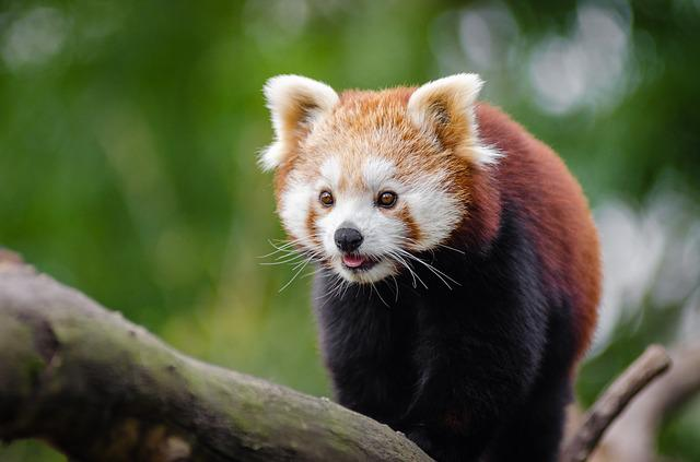 Adorable, Animal, Branch, Cute, Pet, Red Panda