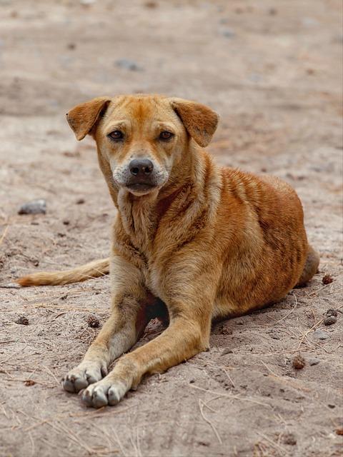 Dog, Pet, Animal, Bangladesh