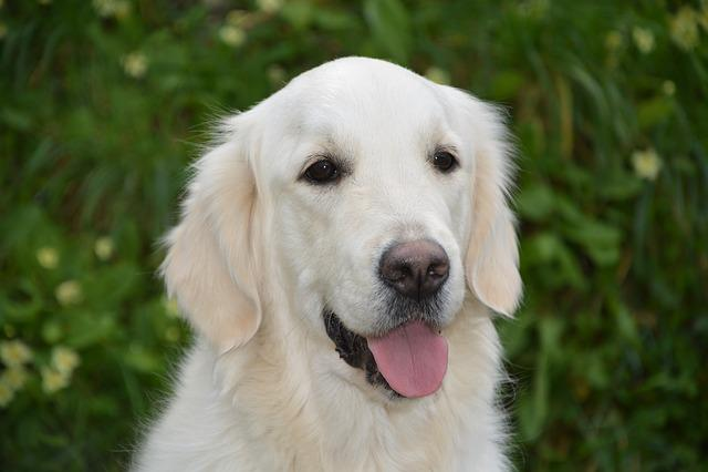 Dog, Bitch Mollie, Golden Retriever, Animal, Pet