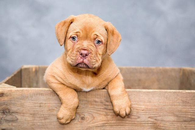 Puppy, Dog, Pet, Cute, Brown Dog, Purebred, Dog Breed