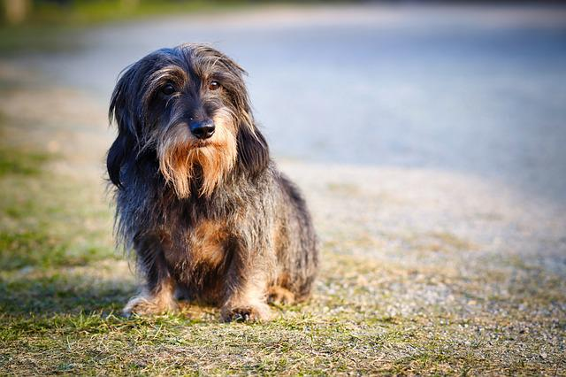 Rauhaardackel, Dog, Dachshund, Pet, Animal Portrait