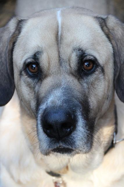 Dog, Pet, Herding Dog, Mastin, Mastino