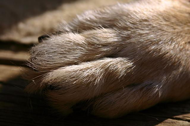 Dog Paw, Paw, Fur, Foot, Dog, Pet, Close, Schäfer Dog