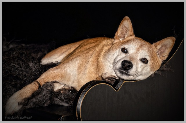 Shiba Inu, Shiba, Dog, Relaxing, Cute, Sweet, Pet