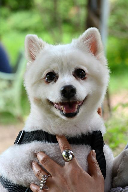 Pet Dogs, Puppy, Pomeranian