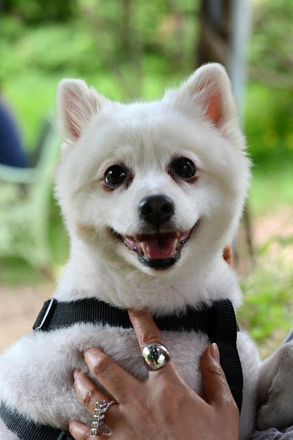 Pet Dogs, Puppy, Pomeranian