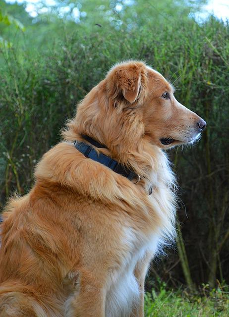 Dog, Golden Retriever, Animal, Domestic Animal, Pet