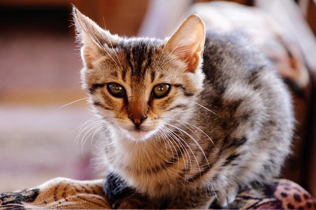 Cat, Kitten, Cute, Pet, Animal, Domestic Cat, Predator