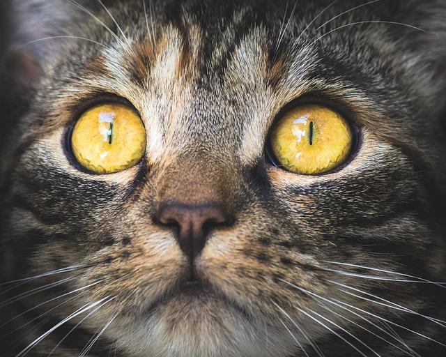 Cat, Portrait, Animal, Pet, Domestic Cat, Eyes, View