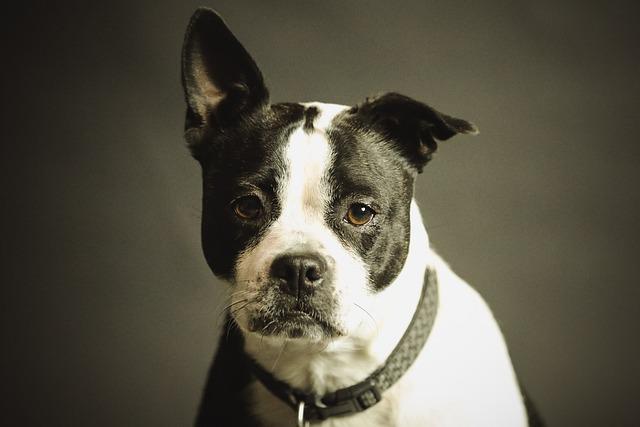 Dog, Pet, Collar, Dog Collar, Domestic, Domestic Dog