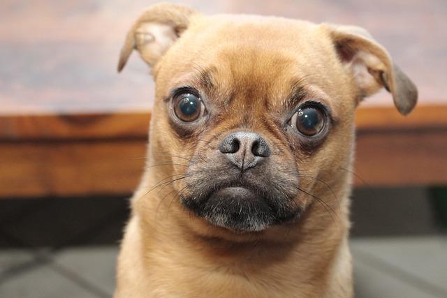 Frank, Pug, Pug Cross, Dog, Pet, Expressive, Cute Dog