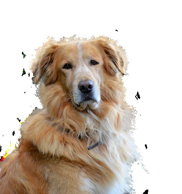 Golden Retriever, Isolated, Dog, Pet, Animal Portrait