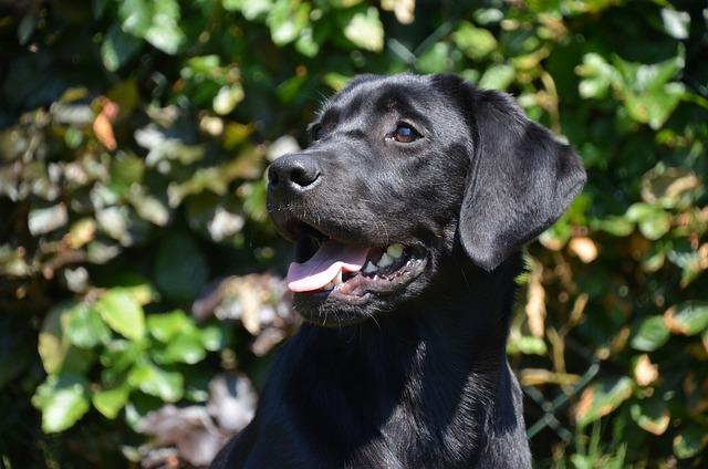 Black, Lab, Happy, Dog, Young, Retriever, Labrador, Pet