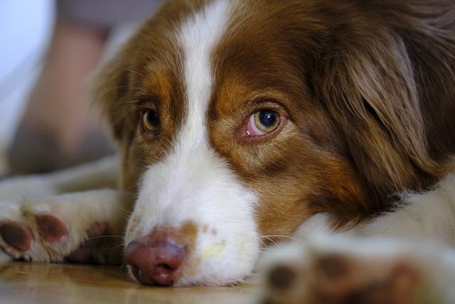 Dog, Australian Shepherd, Pet, Predator, Livestock