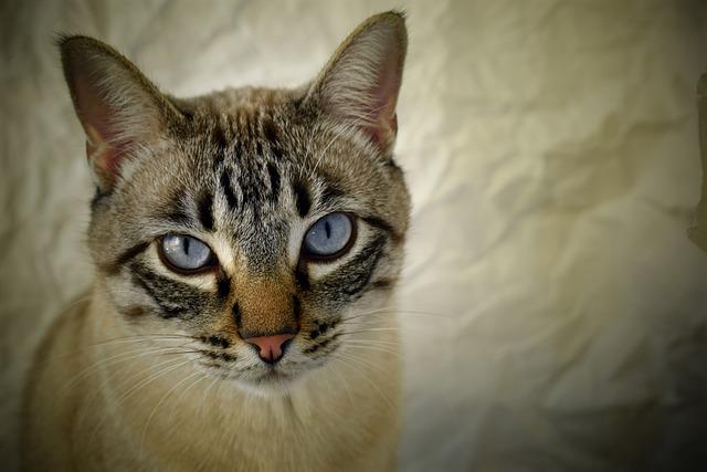 Cat, Pet, Romeo, Look, Pact
