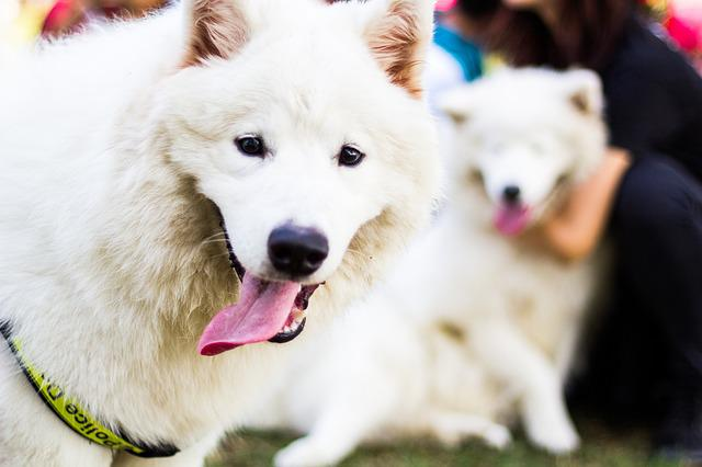 Dog, Animal, Pet, Samoyed, Breed, Snout, Muzzle, Tongue