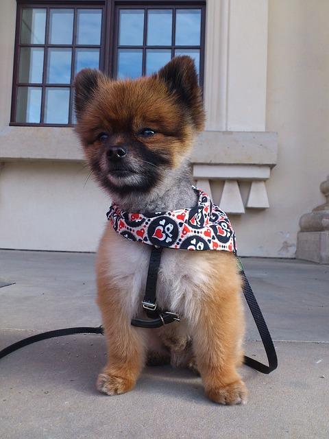 Dwarf Spitz, Pomeranian, Dog, Small Dog, Pet, Playful