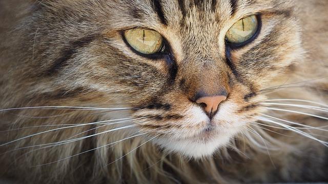 Cat, Feline, Portrait, Animal, Fluffy, Pet, Cat Eyes