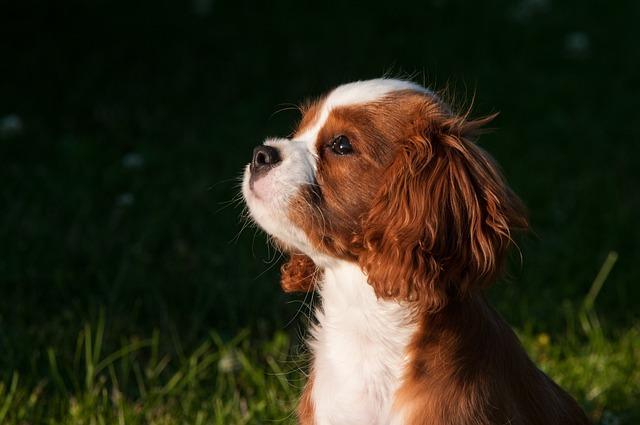 Dog, Pet, Small Dog, Young Dog, Puppies