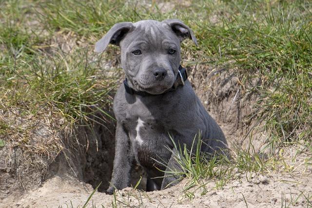 Dog, Puppy, Pet, English Stafford