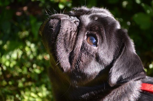 Free photo Pet Purebred Dog Pug Black Dog Lap Dog - Max Pixel