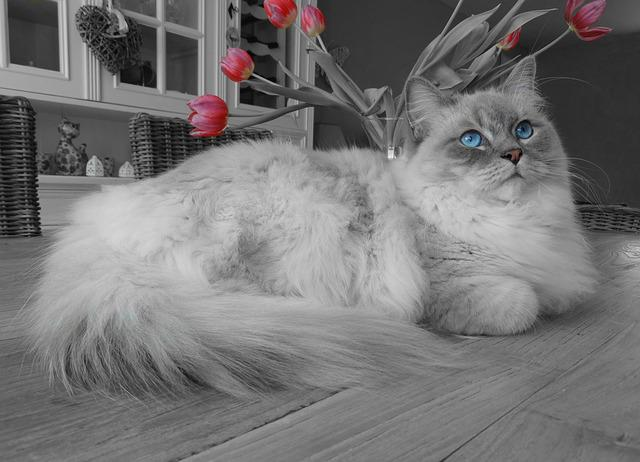 Cat, Remote Access, Ragdoll, Blue Eyes, Relax, Pet