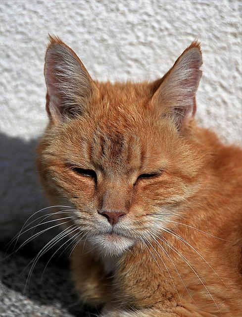 Cat, Red, Relaxation, Pet