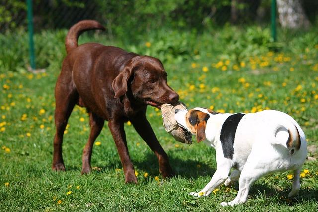 Labrador, Retriever, Dog, Pet, Animal, Summer, Park