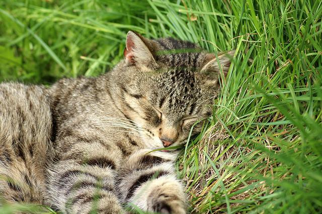 Cat, Animals, Charming, Sleepy, Nature, Mammals, Pet