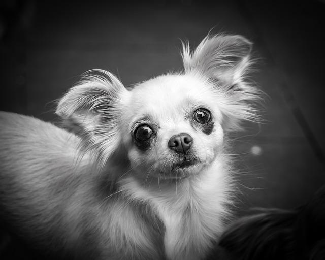 Chihuahua, Dog, Chiwawa, Small, Small Dog, Pet, Animal