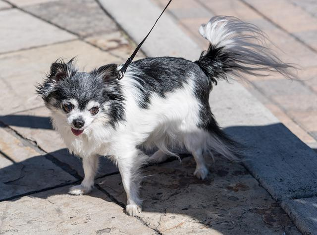 Long Haired Chihuahua, Dog, Pet, Animal, Little, Small