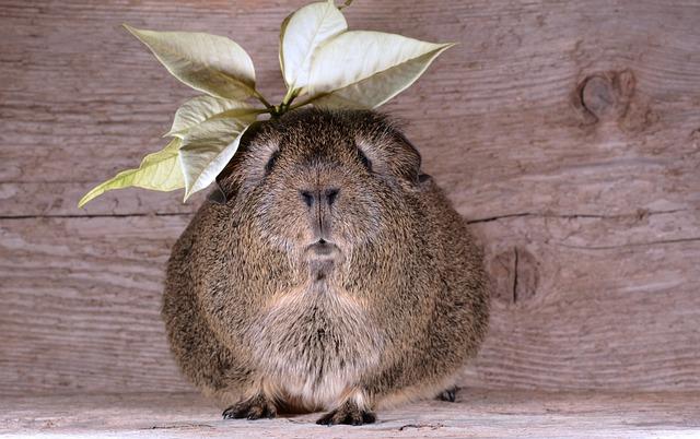 Guinea Pig, Smooth Hair, Lemonagouti, Pet, Blossom