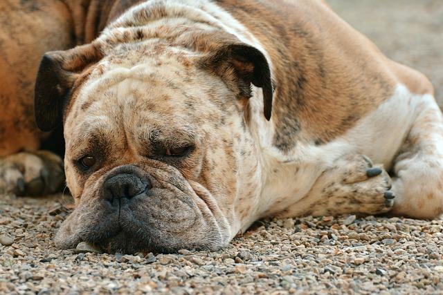 Dog, Boxer, Boxer Dog, Pet, Dog Look, Snout, Dog's Nose