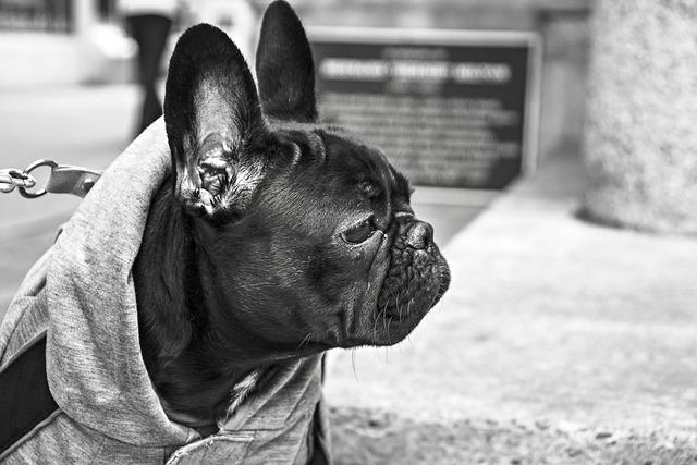 Bulldog, Dog, Pet, Head, Looking, Observing, Watchful
