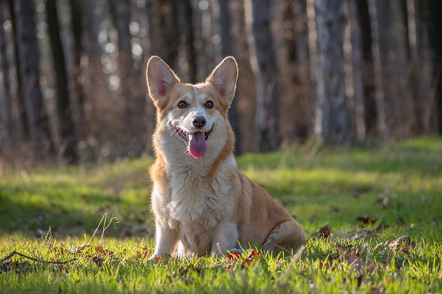 Welsh Corgi Pembroke, Corgi, Dog, Pet, Animal, Pedigree
