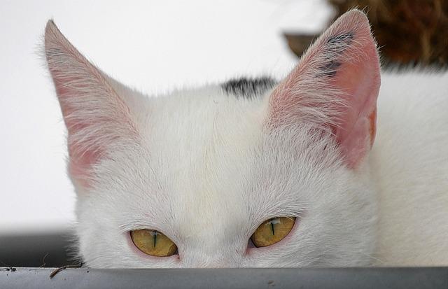 Cat, Pet, Animal, White