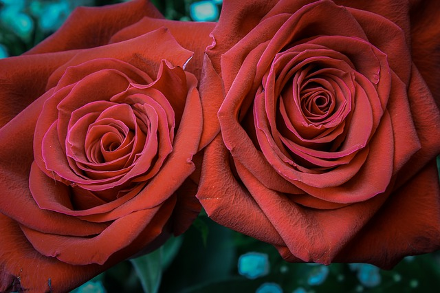 Rose, Petal, Affection, Flower, Blooming, Anniversary