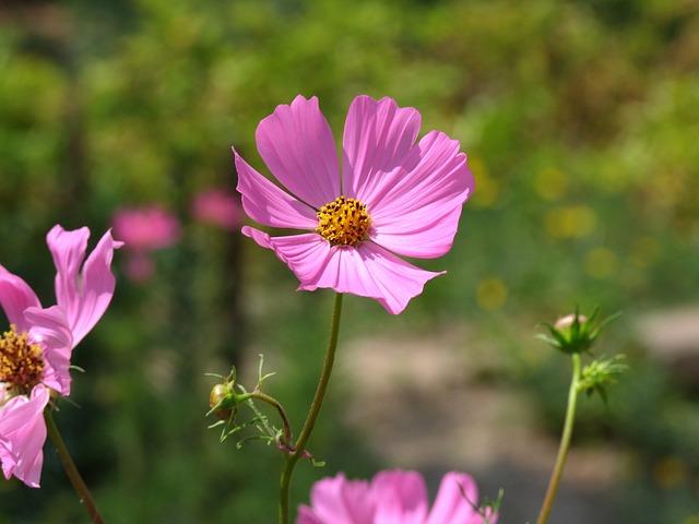 Garden Butterfly Flower, Cosmos Bipinnatus, Pink, Petal