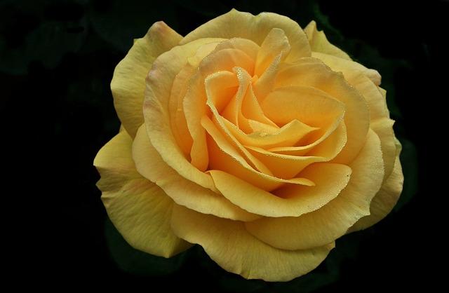 Flower, Rose, Yellow, Petal, Floral, Closeup, Summer