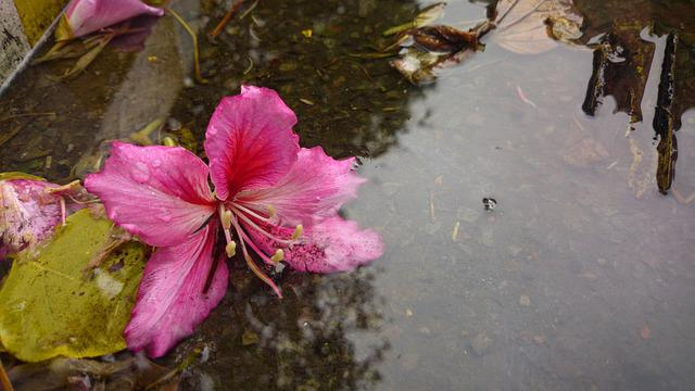 Bauhinia, Petal, Xie, Flowering, Blooming, Natural