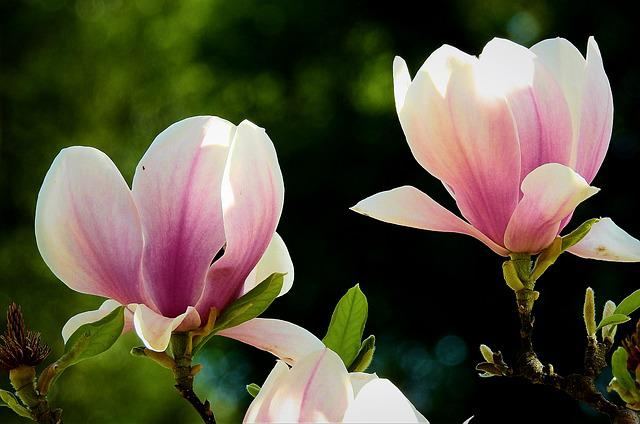 Flower, Plant, Nature, Petal, Magnolia